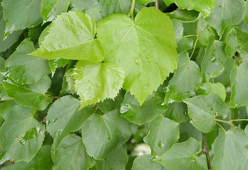 Schwierigkeit der Art-Bestimmung bei Blättern desselben Winterlinden-Baumes. Die in der oberen Bildhälfte hellgrünen, größeren Blätter sind von Jungtrieben des Stockausschlags, die kleineren, dunkleren Blätter stammen von älteren Zweigen.