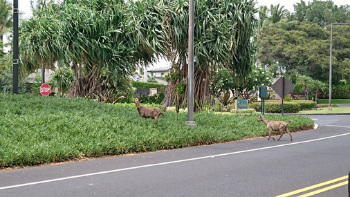 ホテルの近くではヤギさんにも遭遇しました