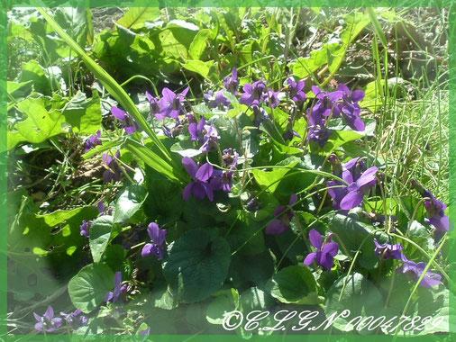 Bienvenue dans Rubrique de mes liens en vous accueillant avec de jolies violettes de Toulouse...