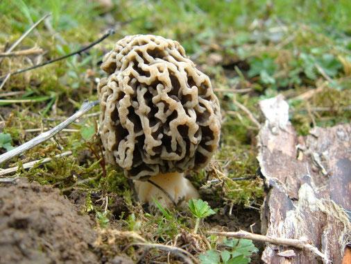Graue Morchel, Morchella vulgaris,