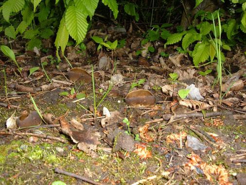 Hochgerippte Becherlorchel, Paxina acetabelum, Hainbuche