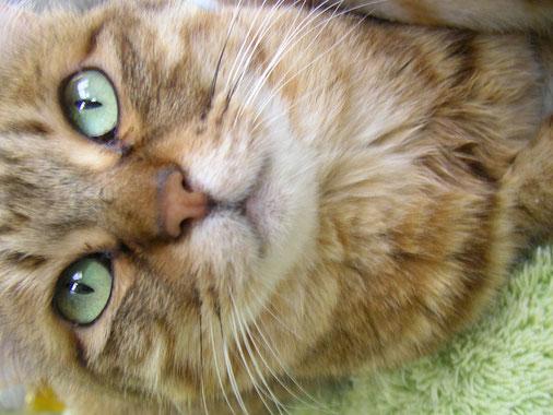Felis silvestris catus · Hauskatze · Cat · Chat · 猫
