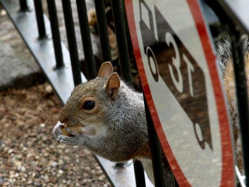 Sciurus carolinensis · Grauhörnchen · Eastern grey squirrel · Écureuil gris · リス