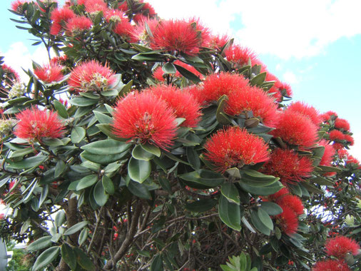 le pohotukawa, arbre sacré, fleuri à Noël