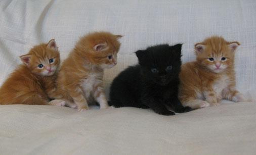 мейн  кун,  кот  мейн  кун, кошка мейн кун, котята мейн кун, питомник,  купить  мейн  куна,  фото мейн куна, рыжий мейн кун, рыжая кошка мейн  кун, maine coon, maine coon cattery, kitten maine coon