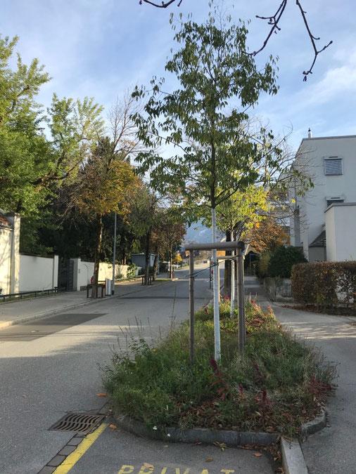 """Offene, bepflanzte """"Baumscheiben"""" schützen die Stadtbäume hier Rheinstrasse (Foto UGN)"""