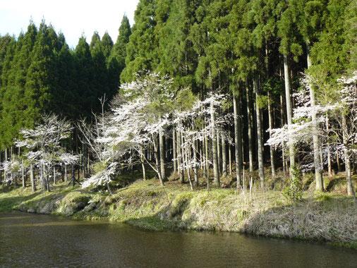4月17日の桜、平良
