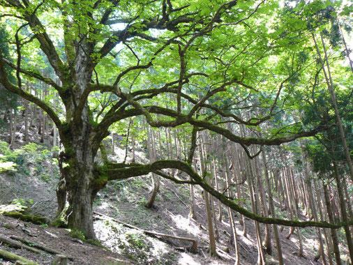 平良の大栃の木
