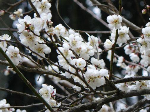 畑の梅の花