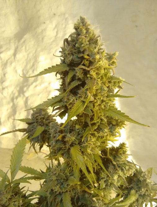 semillas marihuana ak20 auto