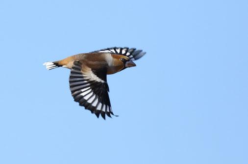 ●飛翔するシメ。翼と尾の白い模様が鮮やか。優れたデザインを思わせる姿態がカッコいいですね。