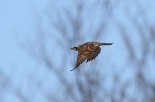 ●飛翔するツグミ。ツグミは背すじを伸ばした良い姿勢で佇んでいるのをよく目にします。飛ぶ姿も凛々しいですね。