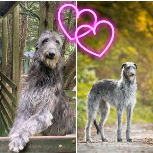 Scottish Deerhound litter in Germany! Scottish Deerhound Würfe in Deutschland! Deerhound Welpen aus Liebhaberzucht in Rheinland-Pfalz!