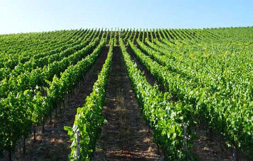 Weinberg für den Frankenwein Weinbau in Randersacker