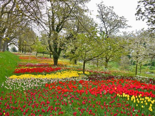 Insel Mainau, gartenreise deutschland, BodenseeInsel Mainau Milionen gelber und roter Tulpen