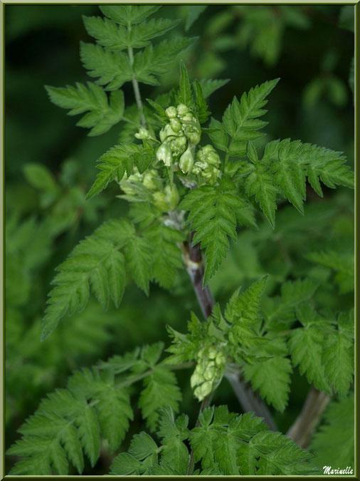 Grande Ciguë ou Ciguë de Socrate ou Ciguë officinale ou Ciguë tachetée ou Fenouil sauvage, fleurs en bouron, flore sur le Bassin d'Arcachon (33)