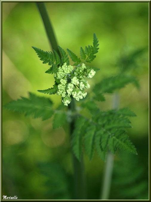 Grande Ciguë ou Ciguë de Socrate ou Ciguë officinale ou Ciguë tachetée ou Fenouil sauvage, fleur en bouton, flore sur le Bassin d'Arcachon (33)