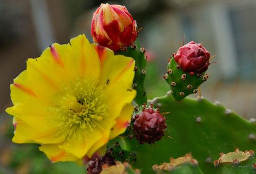 _DSC6742-Fleur figuier de barbarie-Cactaceae
