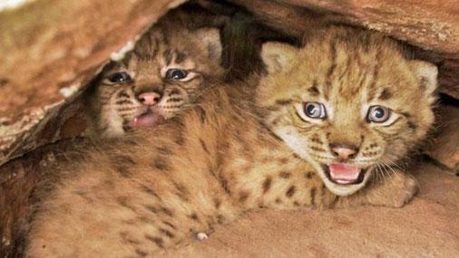 Echte P(f)älzer: Die beiden Luchsbabys, im Mai geboren im Pfälzer Wald. Foto: SNU RLP/Alexander Sommer