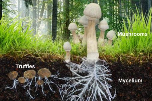 Image de mycéliums avec leurs  fructifications