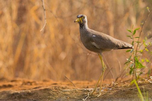Vanneau du Sénégal, oiseau, Sénégal, Afrique, safari, stage photo animalière, Jean-Michel Lecat, photo non libre de droits