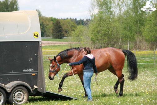 Verladetraing, Pferdetransporter, Sportpferd, Knotenhalfter, Bodenarbeitsseil, Kurs Anhängertraining