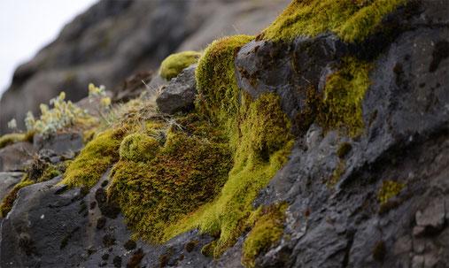 Verschiedene Krustenflechten und Moose besiedeln als Pioniere die Steine Islands