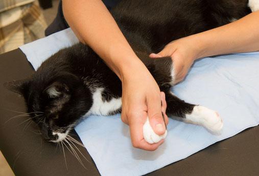 Manuelle Therapie bei Katzen
