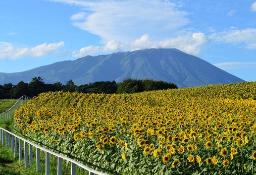 8月22日撮影。小岩井農場の向日葵一群と岩手山