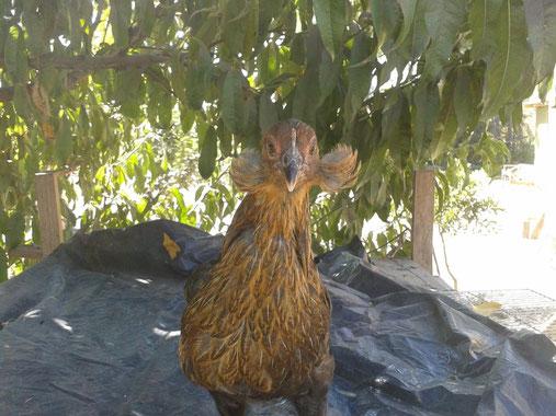 Aretes de pollita Ketro! Criador Miguel Angelo Paredes, San Vicente de Tagua Tagua (Chile)
