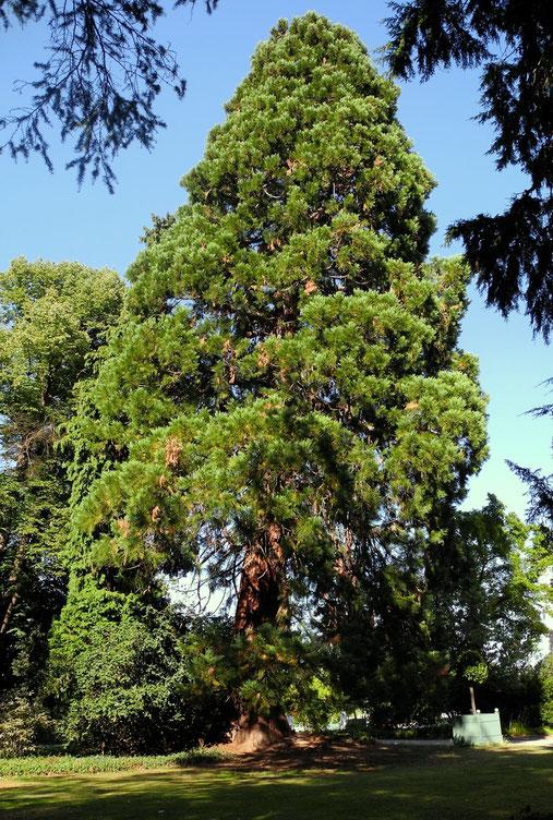 "Mammutbaum ""Sequoiadendron gigantea"" (Heimat Kalifornien)"