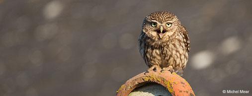 GEOCA, Groupe d'Etudes Ornithologiques des Côtes-d'Armor, ornithologie, observation oiseaux Côtes-d'Armor, avifaune Côtes-d'Armor, Chevêche d'Athéna, chouette chevêche, Michel Mear, Bretagne, Côtes-d'Armor