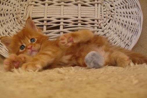 мейн  кун,  кот  мейн  кун, кошка мейн кун, котята мейн кун,  мейн кун, котята мейн кун, купить мейн куна, рыжий котенок мейн кун,   рыжая кошечка мейн кун, кошки, коты, котята, питомник одесса,   фото мейн куна, maine coon, maine coon cattery, kitten