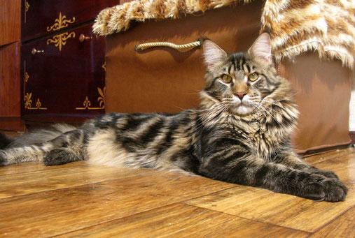 мейн  кун,  кот  мейн  кун,фото мейн куна, кошка мейн кун, котята мейн кун, питомник,  купить  мейн  куна,  фото мейн куна, рыжий мейн кун, рыжая кошка мейн  кун, maine coon, maine coon cattery, kitten maine coon