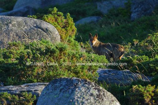 Loba con cachorros en la sierra del Suido ( Pontevedra )