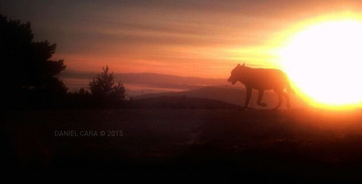 Lobo al amanecer ( Pontevedra ).