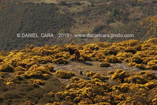 Dos lobos enfrentándose a dos caballos, sierra del Suido ( Pontevedra )