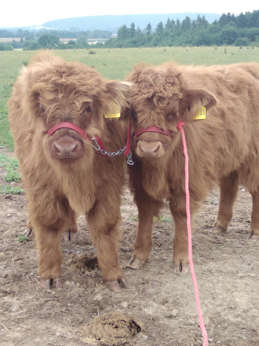 Highland Cattles, Training mit Kindern,