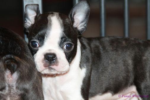 Boston Terrier Züchterin Rheinland-Pfalz..., Boston Terrier Welpen kleine Gewichtsklasse..., Boston Terrier in Standardfarben!