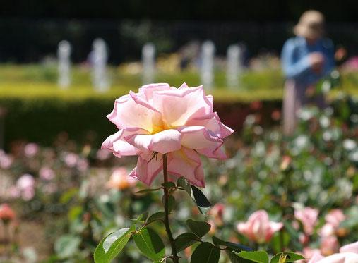 ●神代植物公園のバラ、コンフィダンス。コンフィダンスはフランス作出のモダンローズ、甘い香りがします。神代植物公園では、5月31日まで「春のバラフェスタ」開催中です