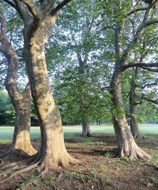 5月26日(2013) プラタナス兄弟:野川公園に立つ5本のプラタナス(すずかけ)の木