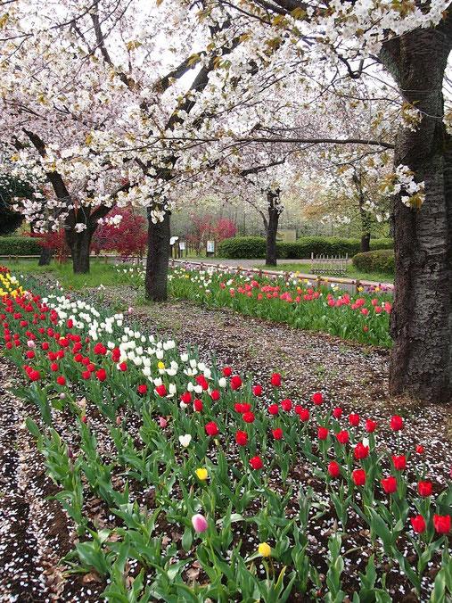 4月13日(2015) 桜とチューリップ:4月12日、都立武蔵野公園サービスセンターの近くにて