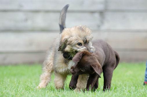Welpen und Junghunde spielen in der Hundeschule