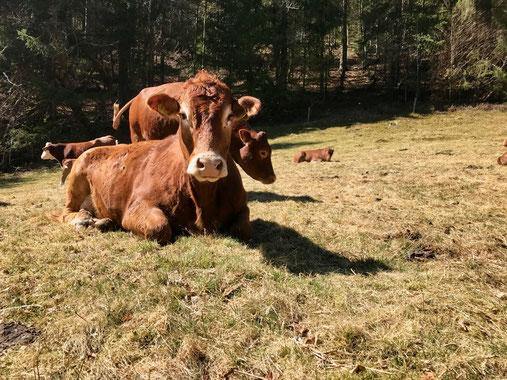 Schwarzwaldkühe am Belchensteig Genießerpfad