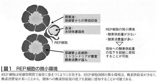 REP細胞の微小環境