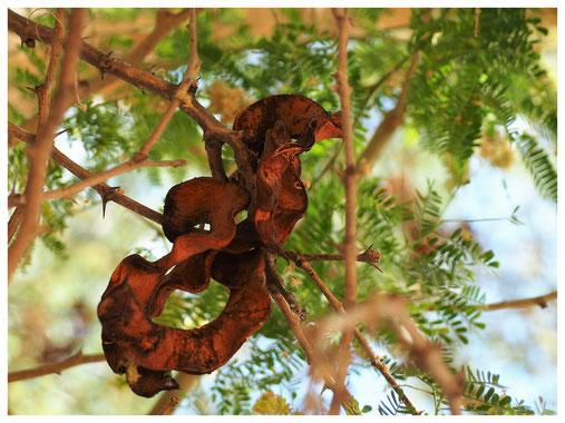 Faidherbia albida de Namibie