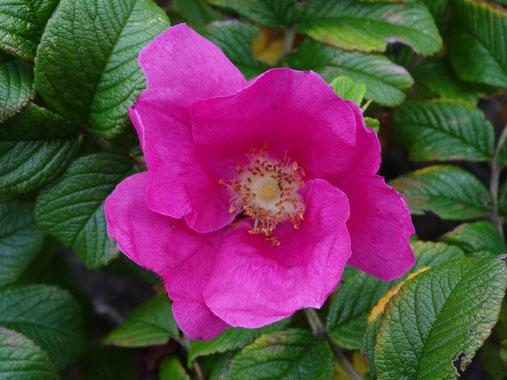 Bild: rosa Apfelrose