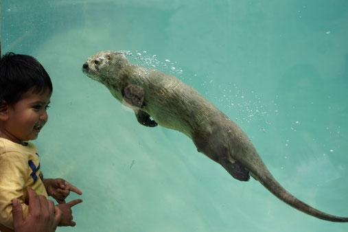 Fischotter schwimmt hinter Glasscheibe, Kind schaut zu  Foto: Dr. Hans-Heinrich Krüger