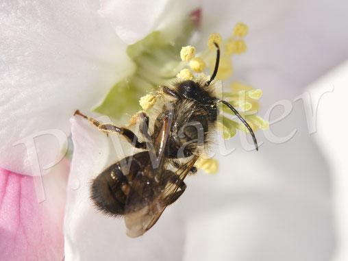 Bild: Männchen, Rostrote Mauerbiene, Osmia bicornis, Apfelblüte