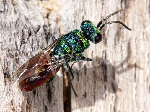 Bild: Goldwespe, ein Parasit z.B. bei den Scherenbienen